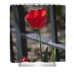 Tulip And Garden Fence Shower Curtain by Morris  McClung