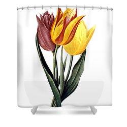 Tulip (tulipa Gesneriana) Shower Curtain by Granger