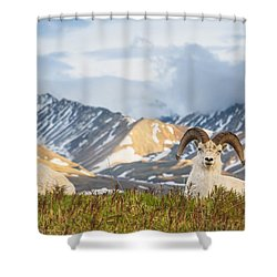Two Adult Dall Sheep Rams Resting Shower Curtain by Michael Jones