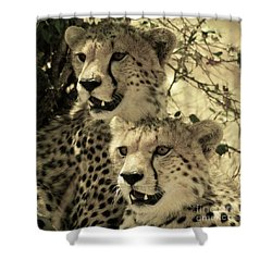 Shower Curtain featuring the photograph Two Cheetahs by Frank Stallone