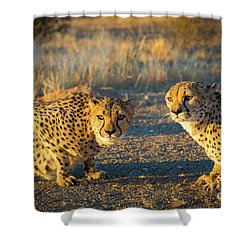 Two Cheetahs Shower Curtain by Inge Johnsson