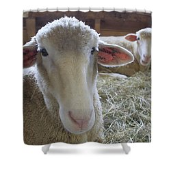 Two Funny Sheep In A Barn Shower Curtain