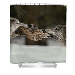 Two Gray Wolves, Canis Lupus, Tussle Shower Curtain