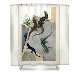 Shower Curtain featuring the drawing Varieties Of Wall Lizard by Jacques von Bedriaga