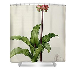 Veltheimia Capensis Shower Curtain by Pierre Joseph Redoute