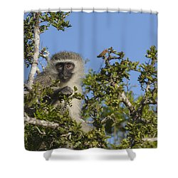 Vervet Monkey Perched In A Treetop Shower Curtain
