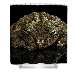 Vietnamese Mossy Frog, Theloderma Corticale Or Tonkin Bug-eyed Frog, Isolated On Black Background Shower Curtain