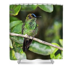 Violet-fronted Brilliiant Shower Curtain