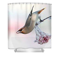 Waxwing Feeding  Shower Curtain
