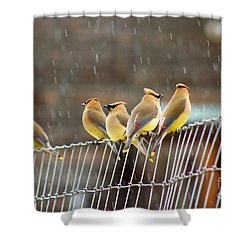 Waxwings In The Rain Shower Curtain