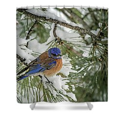Western Bluebird In A Snowy Pine Shower Curtain