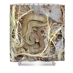 Western Yellow-bellied Racer, Coluber Constrictor Shower Curtain