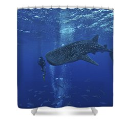 Whale Shark And Diver, Maldives Shower Curtain by Mathieu Meur