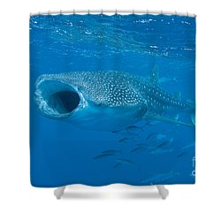 Shower Curtain featuring the photograph Whale Shark, Ari And Male Atoll by Mathieu Meur