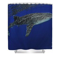 Whale Shark Near Surface With Sun Rays Shower Curtain by Mathieu Meur