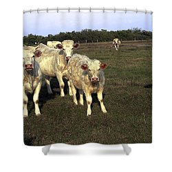 White Cows Shower Curtain by Sally Weigand