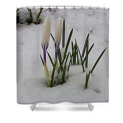 White Crocus In Snow Shower Curtain
