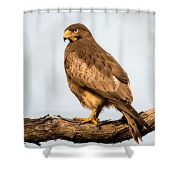 White-eyed Buzzard Butastur Teesa Shower Curtain by Panoramic Images