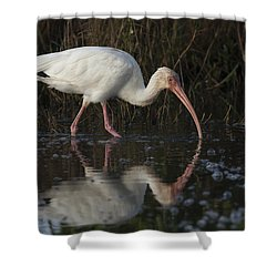 White Ibis Feeding In Morning Light Shower Curtain