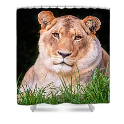 Shower Curtain featuring the photograph White Lion by Alexey Stiop