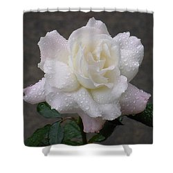 White Rose In Rain - 3 Shower Curtain