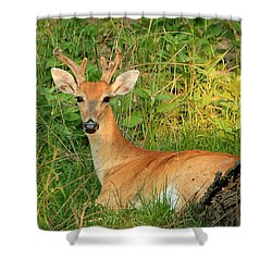 White-tail Buck Resting Shower Curtain