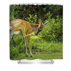 White Tailed Deer Scratching It's Nose Shower Curtain by Ken Morris