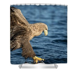 White-tailed Eagle Hunting Shower Curtain