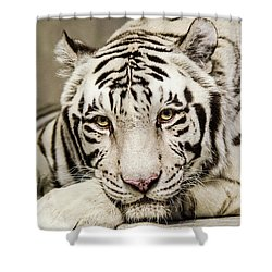White Tiger Looking At You Shower Curtain