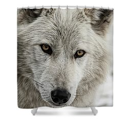 White Wolf II Shower Curtain by Brad Allen Fine Art