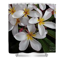 White/yellow Plumerias In Bloom Shower Curtain