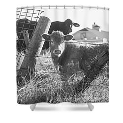 Shower Curtain featuring the photograph Who Are You, Angus Cows Seem To Ask by Toni Hopper