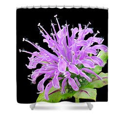 Wild Bergamot Also Known As Bee Balm Shower Curtain