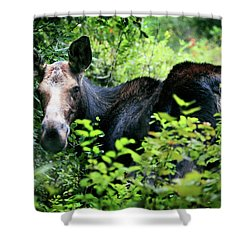 Wild Moose Shower Curtain by Dan Pearce