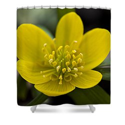 Winter Aconite Shower Curtain by Dan Hefle