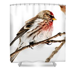 Winter Redpoll Shower Curtain by Christina Rollo