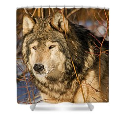 Wolf In Brush Shower Curtain