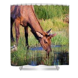 Yearling Elk Shower Curtain by Dan Pearce