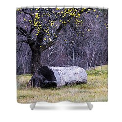 Yellow Apples Shower Curtain by Tom Singleton