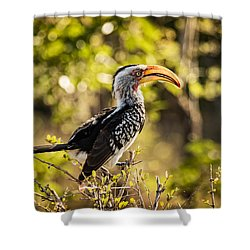 Yellow-billed Hornbill Shower Curtain