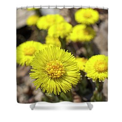 Shower Curtain featuring the photograph Yellow Coltsfoot Flowers by Christina Rollo