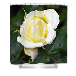 Yellow Rose 1 Shower Curtain