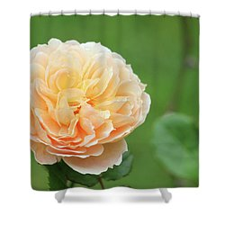Yellow Rose In December Shower Curtain by Kelly Hazel