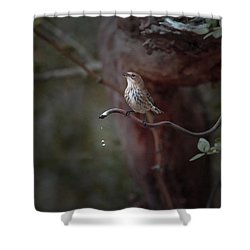 Yellow-rumped Warbler At Water Spout Shower Curtain