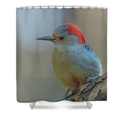 Young Red Bellied Woodpecker Shower Curtain