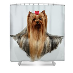 Yorkshire Terrier Dog With Long Groomed Hair Lying On White  Shower Curtain by Sergey Taran