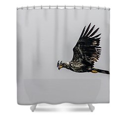 Young Eagle In Flight 07 Shower Curtain by Timothy Latta