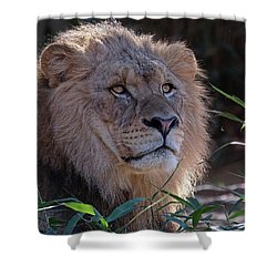 Young Lion King Shower Curtain by Ronda Ryan