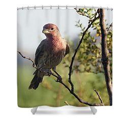 Young Male House Finch Shower Curtain