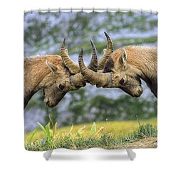 Young Male Wild Alpine, Capra Ibex, Or Steinbock Shower Curtain